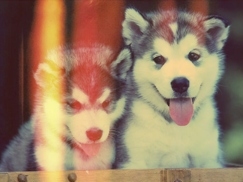 Husky Puppies &lt;3 - dogs Photo
