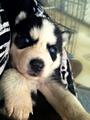 Husky पिल्लें <3