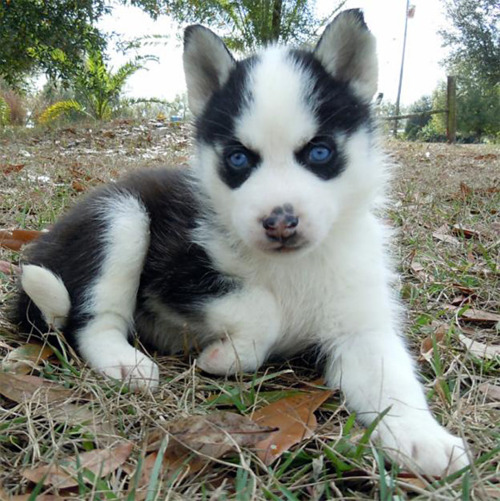 Husky Puppies <3
