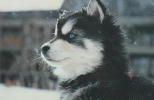 Husky cachorritos <3