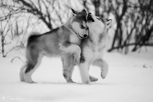 Dogs wallpaper probably with a malamute called Husky Puppies <3