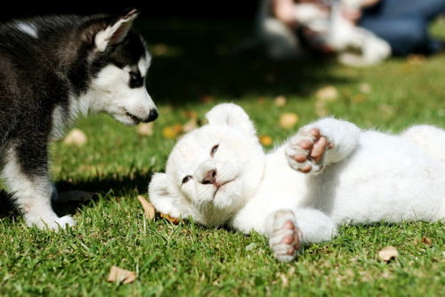Husky Puppies <3 - dogs Photo