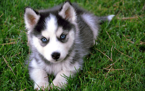 Dogs wallpaper entitled Husky Puppies