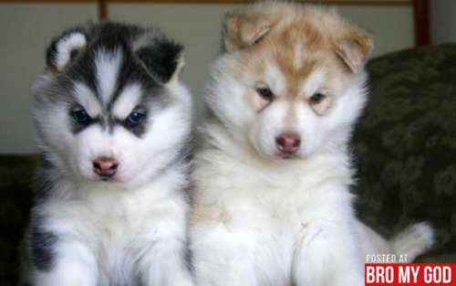 Husky Puppies!