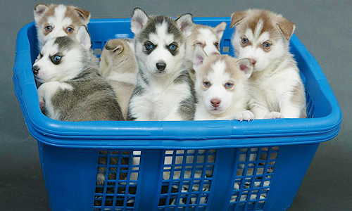 Husky Puppies! - dogs Photo