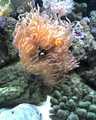 Anenomae and Clownfish