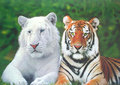 white tiger and tiger - animals screencap