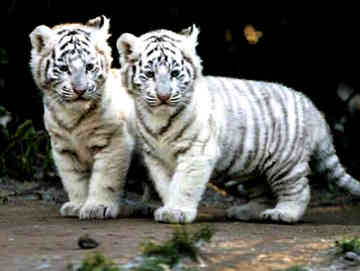 white tigers - animals Photo