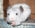 Chinchilla stretching paws - chinchilla photo