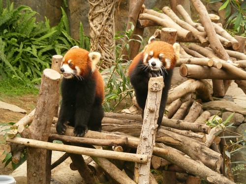 Red Pandas Hintergrund probably with a lesser panda called Red Pandas in Ocean Park Hong Kong