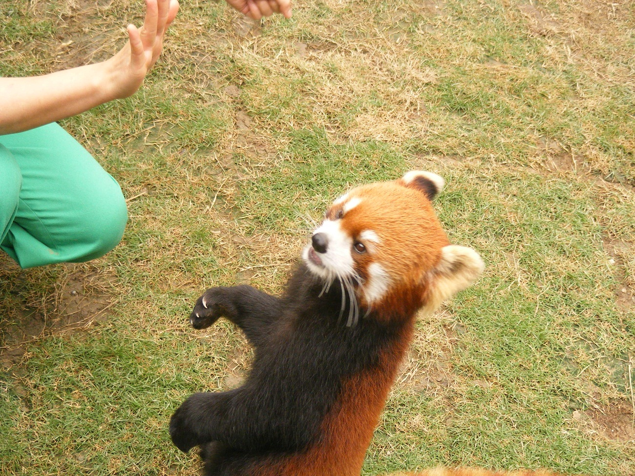 Red pandas in Ocean Park Hong Kong