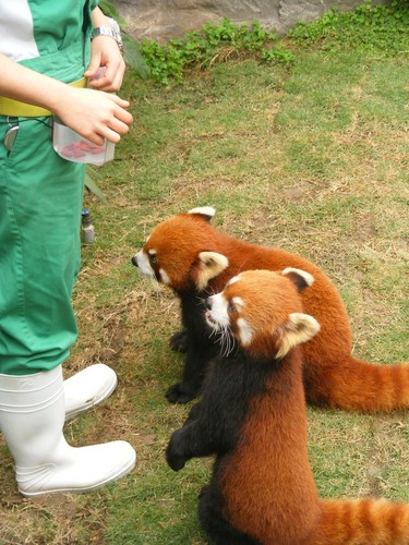 Red Pandas wolpeyper with a lesser panda titled Red pandas in Ocean Park Hong Kong