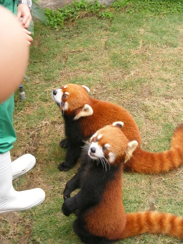 Red Pandas پیپر وال with a lesser panda titled Red pandas in Ocean Park Hong Kong