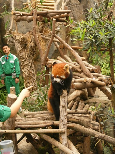Red Pandas Hintergrund with a lesser panda called Red Pandas in Ocean Park Hong Kong