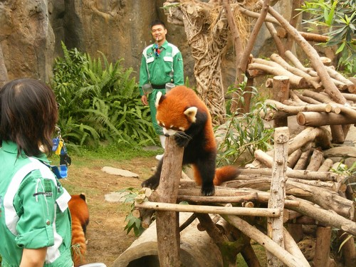 Red Pandas wolpeyper possibly with a lesser panda called Red pandas in Ocean Park Hong Kong