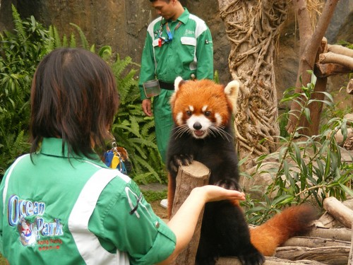 Red pandas in Ocean Park Hong Kong