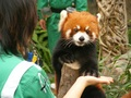 Red 熊猫 in Ocean Park Hong Kong