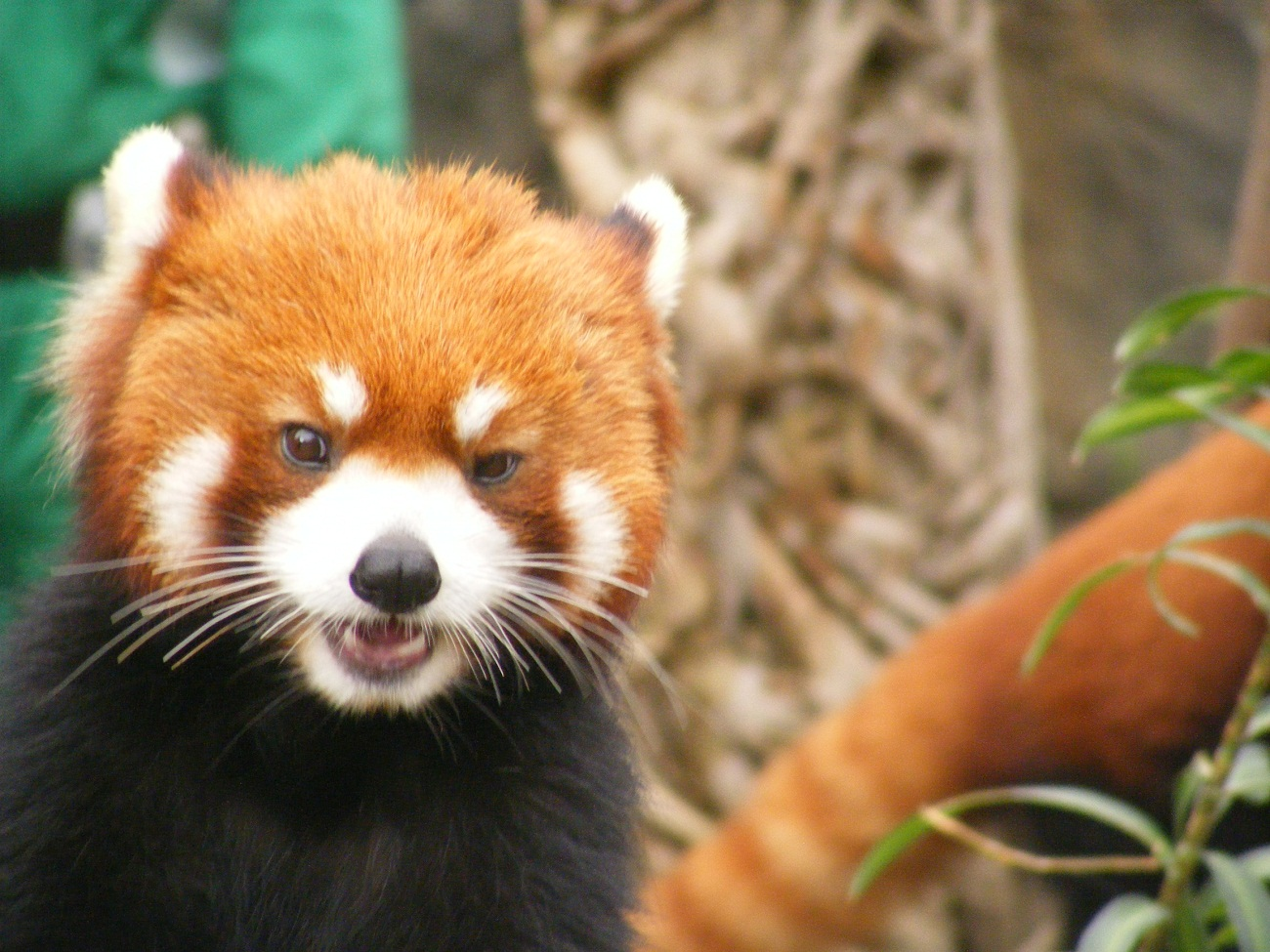 Red panda in Ocean Park Hong Kong