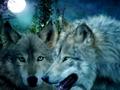 chó sói, sói hình nền