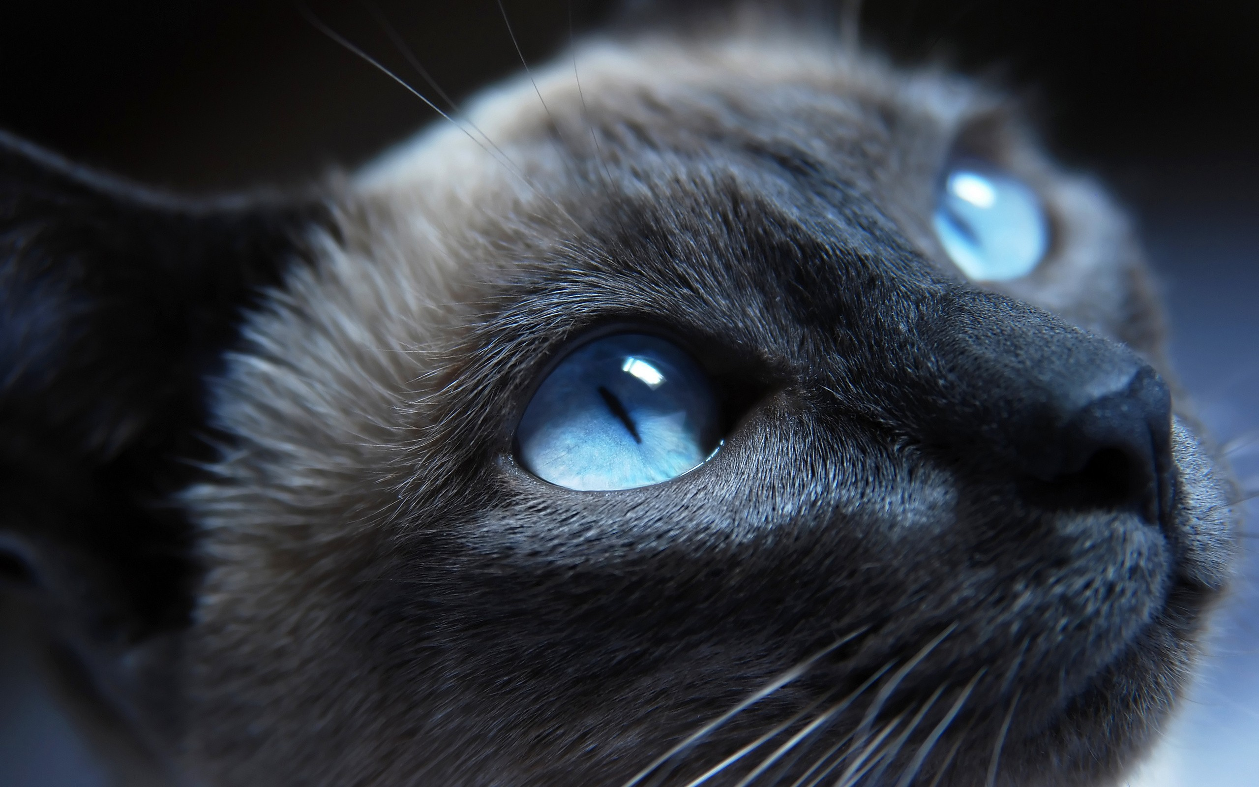 Warrior Cats Forever cat with blue eyes