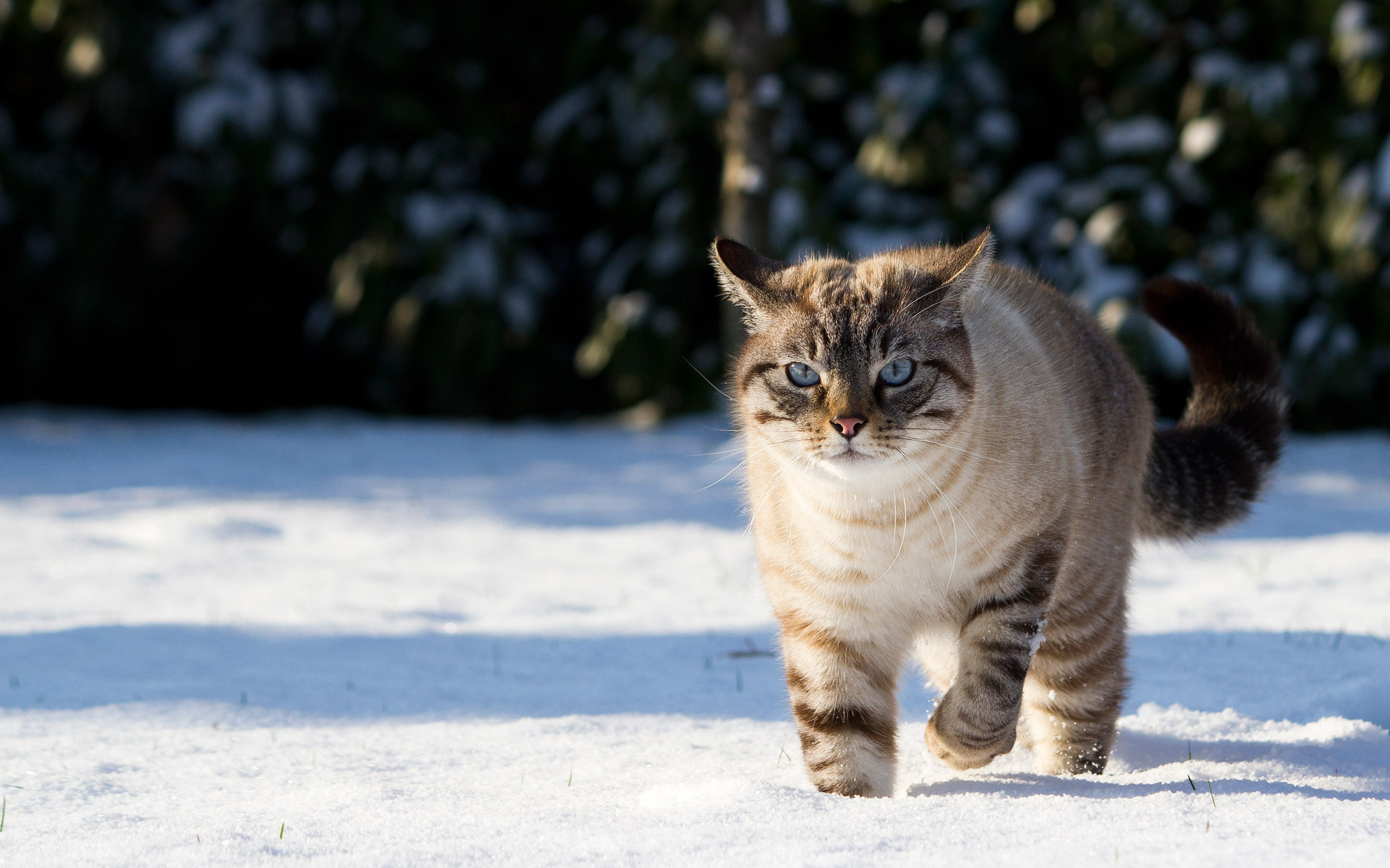 warrior cats forever images snowy cat hd wallpaper and