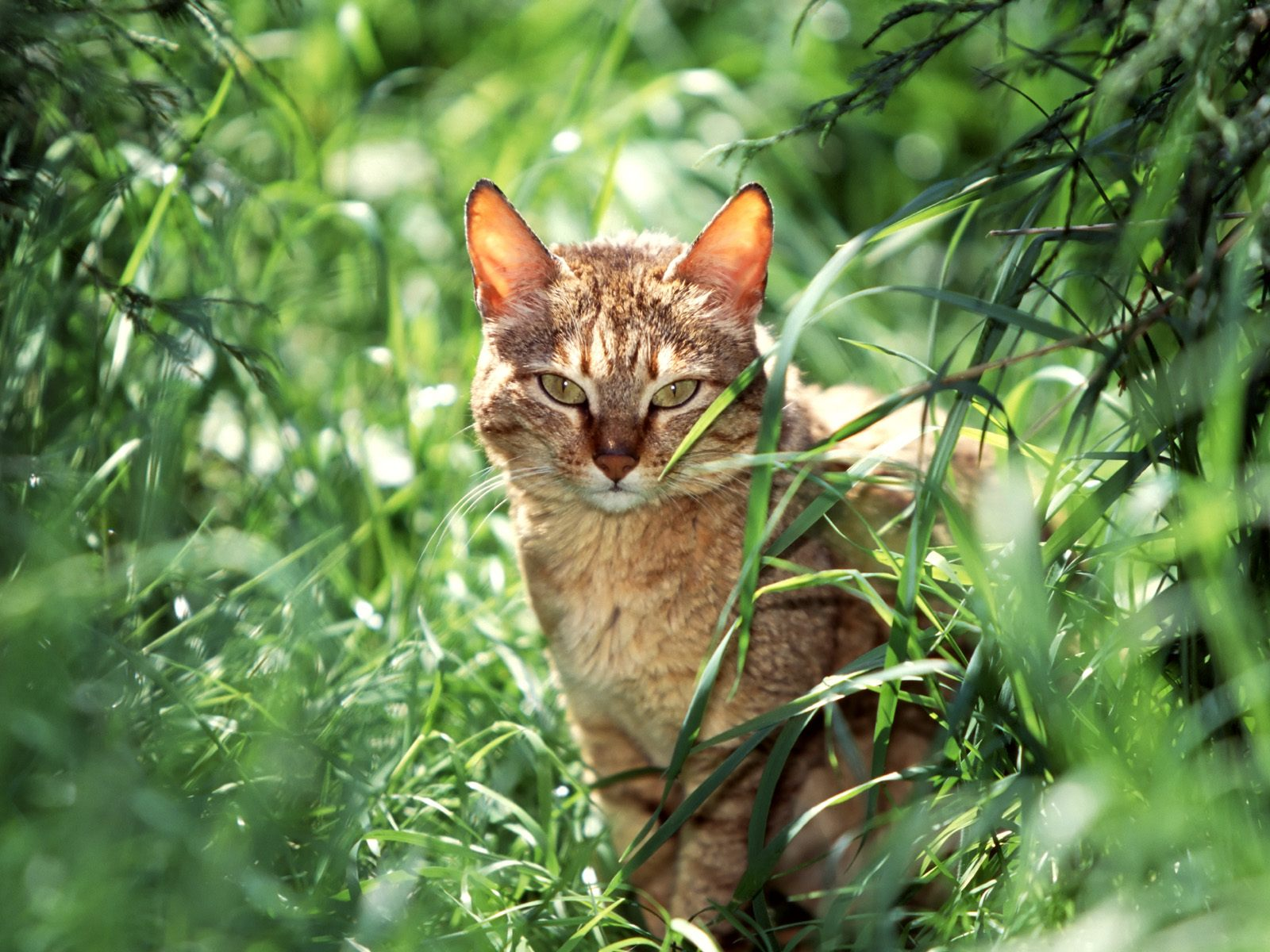 wild cat 1 - Warrior Cats Forever Wallpaper (30386593 ...