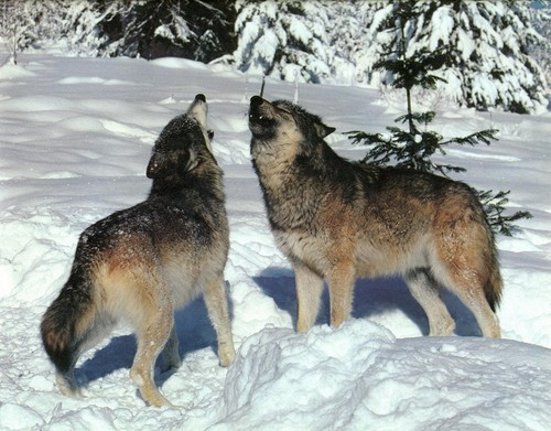Beautiful  - wolves Photo