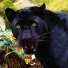Black Panther - big-cats Icon