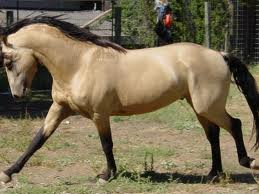 we love horses images buckskin 3 wallpaper and background