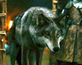 Grey Wind - game-of-thrones-direwolves photo
