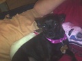 Jay (it's a girl) - chihuahuas photo