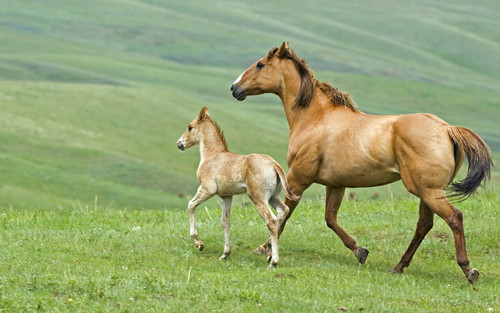 Mare and anak kuda, foal running across pasture in Alberta Canada