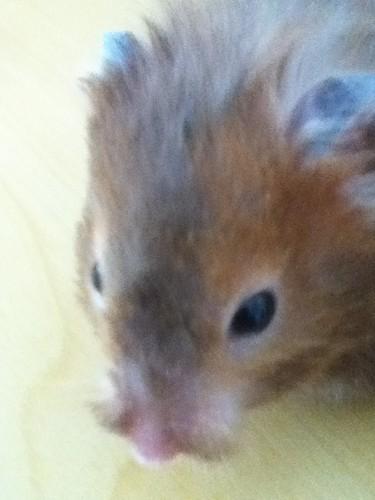 My Hamster, cupcake