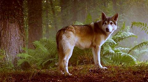 Nymeria - Arya direwolf