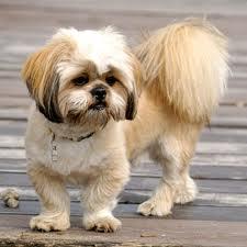 Small anjing
