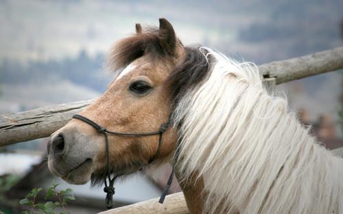 Sweet kuda, kuda kecil