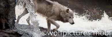 بھیڑیا BANNERS