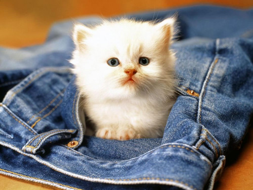 White Cat In Jeans