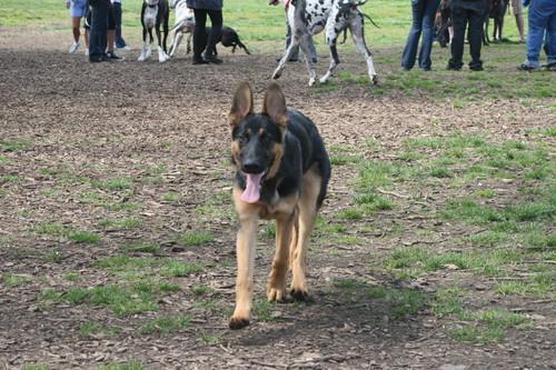 german shephard pup
