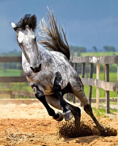 farasi karatasi la kupamba ukuta possibly containing a horse trail, a horse wrangler, and a lippizan called running free