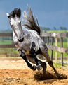 running free - horses photo