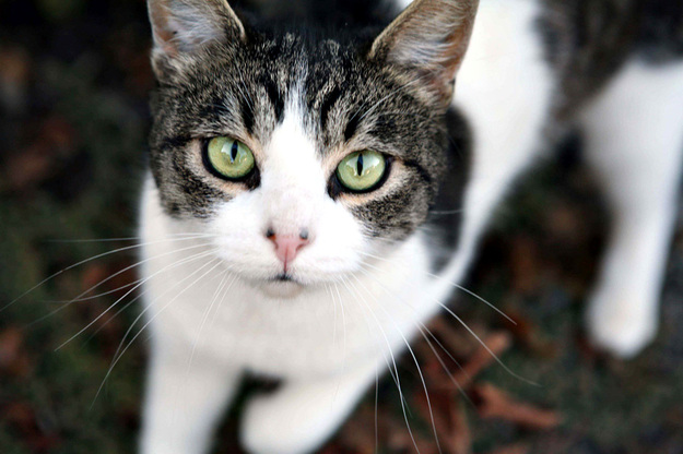 Brown Tabby Cat With Green Eyes