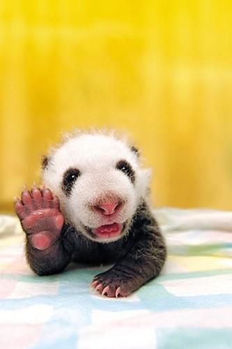 Cute Panda Baby!