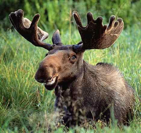 moose перевод