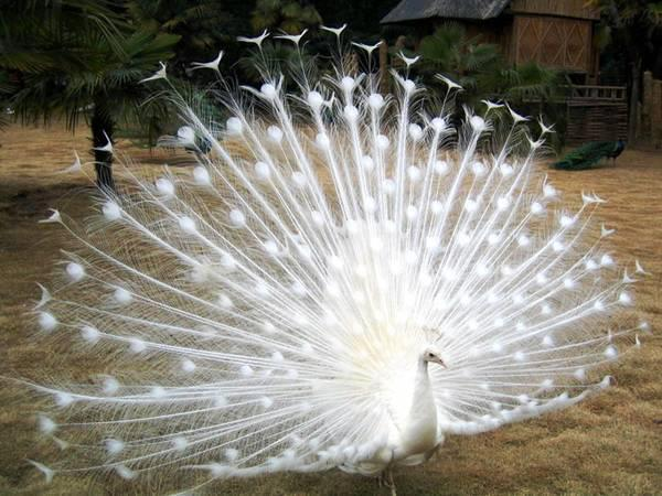 Fairies Images White Peacock Wallpaper And Background Photos 30585499
