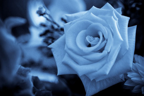 Roses wallpaper containing a rose, a bouquet, and a rose called beautiful blue rose