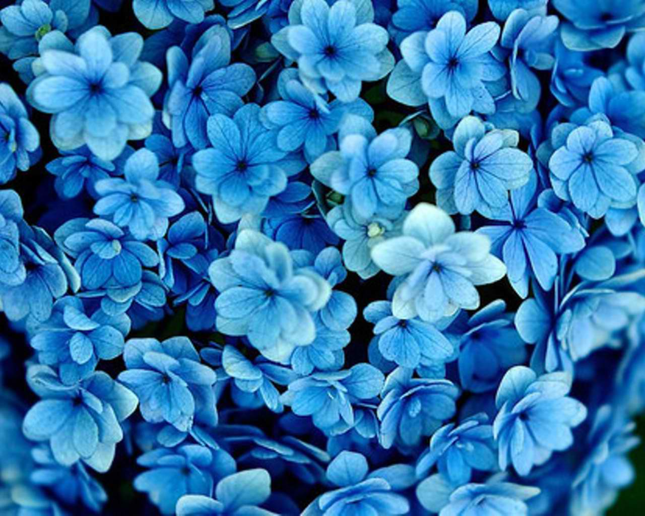 blue flowers - cynthia-selahblue-cynti19 Wallpaper