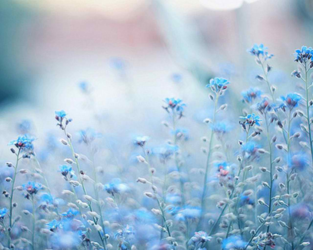 cynthia-selahblue (cynti19) images blue flowers hd wallpaper and