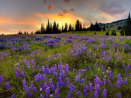Bukovina, land of 꽃 …