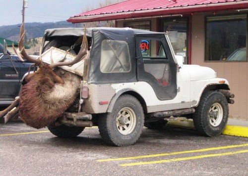 Elk in a CJ5 - jeep Photo